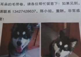 寻狗启示,寻找爱犬7个月大阿拉斯加一只,肩高65,身长大概90CM,它是一只非常可爱的宠物狗狗,希望它早日回家,不要变成流浪狗。