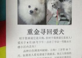 天津市红桥区丁字沽一号路丢失白色狗狗一只