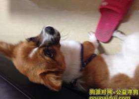深圳市宝安区西乡流塘小学中粮地产附近捡到只黄白相间的狗狗~