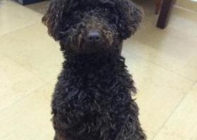 寻狗启示,惠州市小金口走失 玩具贵宾 小怪,它是一只非常可爱的宠物狗狗,希望它早日回家,不要变成流浪狗。