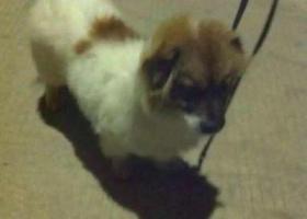 寻狗启示,惠州惠东县吉隆镇丢失白色小狗,背上和头上带点黄褐色,脖子上有一条拴狗绳的皮圈,它是一只非常可爱的宠物狗狗,希望它早日回家,不要变成流浪狗。