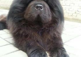 寻狗启示,购得黑色松狮一只,观察发现小狗可能是被偷来的,顾寻找小狗原主人,它是一只非常可爱的宠物狗狗,希望它早日回家,不要变成流浪狗。