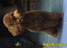 上海长宁区玉屏南路走失泰迪狗