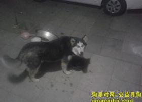 寻狗启示在河北廊坊北旺村丢失一只哈士奇