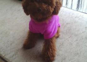 寻狗启示,安徽宿州砀山寻找带尾巴的浅棕色泰迪,酬金5000,它是一只非常可爱的宠物狗狗,希望它早日回家,不要变成流浪狗。
