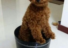 寻狗启示,内蒙古通辽地区金叶商城附近走失小泰迪左前腿有点瘸,它是一只非常可爱的宠物狗狗,希望它早日回家,不要变成流浪狗。