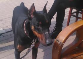 湖北武汉青年路丢失一只黑色毛发杜宾犬