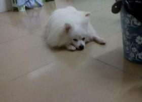 在深圳石岩料坑新村捡到一只银狐犬