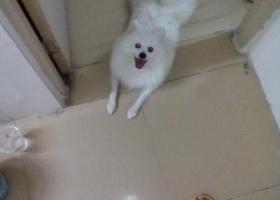 在石岩料坑新村捡到一只银狐犬