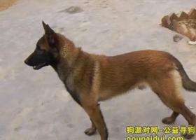 寻狗启示,湖北省黄石市河口镇丢失一条马犬,名叫大脸,它是一只非常可爱的宠物狗狗,希望它早日回家,不要变成流浪狗。