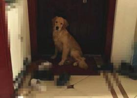 寻狗启示,运城市职业技术学院樊村5月13日下午丢失宝贝母金毛,它是一只非常可爱的宠物狗狗,希望它早日回家,不要变成流浪狗。
