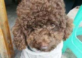 寻狗启示,寻狗,泰迪,掉了半年多了,现在两岁多了,巧克力色。,它是一只非常可爱的宠物狗狗,希望它早日回家,不要变成流浪狗。