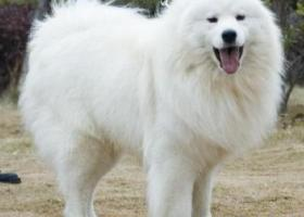 寻狗启示,昌邑北孟塔尔堡找一只白色萨摩耶,它是一只非常可爱的宠物狗狗,希望它早日回家,不要变成流浪狗。