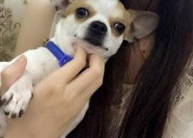 寻狗启示,钟祥黄坡水库丢失的吉娃娃,希望大家能帮我留意,它是一只非常可爱的宠物狗狗,希望它早日回家,不要变成流浪狗。
