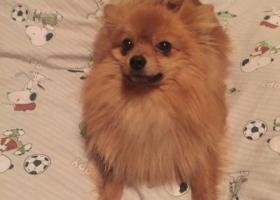 寻狗启示,安徽省铜陵市杨家山附近走失别名杰克的博美,它是一只非常可爱的宠物狗狗,希望它早日回家,不要变成流浪狗。