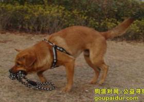 【龙南】龙南金水大道附近走丢一只中型黄色公狗
