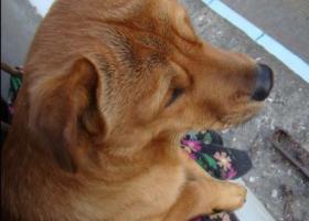寻狗启示,【赣州龙南】龙南金水大道附近走丢一只中型黄色公狗,它是一只非常可爱的宠物狗狗,希望它早日回家,不要变成流浪狗。