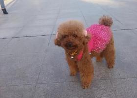 寻狗启示,在连云港新浦朝阳路乐天玛特附近走失一条母泰迪,它是一只非常可爱的宠物狗狗,希望它早日回家,不要变成流浪狗。