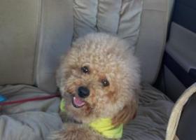 寻狗启示,安徽宿州墉桥区胜利路蓝水湾小区跑丢一杏色泰迪,它是一只非常可爱的宠物狗狗,希望它早日回家,不要变成流浪狗。