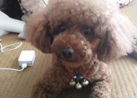 寻狗启示,在连云港朝阳路乐天玛特和国税局附近走失一条酒红色母泰迪,它是一只非常可爱的宠物狗狗,希望它早日回家,不要变成流浪狗。