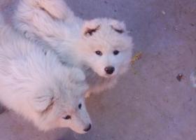 寻狗启示,安徽砀山蒋楼附近丢失两条萨姆耶狗狗,它是一只非常可爱的宠物狗狗,希望它早日回家,不要变成流浪狗。