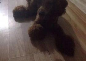寻狗启示,寻找爱狗 请大家帮助,它是一只非常可爱的宠物狗狗,希望它早日回家,不要变成流浪狗。