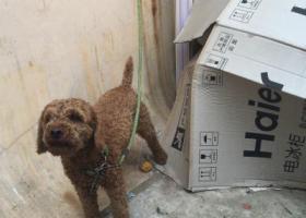 寻狗启示,6月29号浮山后捡到棕色泰迪,它是一只非常可爱的宠物狗狗,希望它早日回家,不要变成流浪狗。