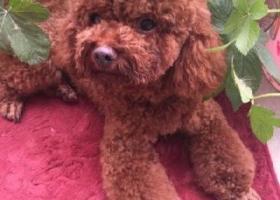 寻狗启示,宿州寻狗狗 。它叫苹果。。,它是一只非常可爱的宠物狗狗,希望它早日回家,不要变成流浪狗。