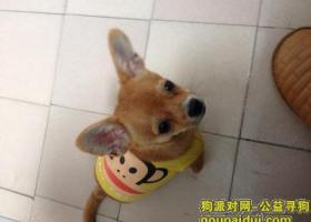 寻狗启示,望好心人帮助爱犬早日回家!,它是一只非常可爱的宠物狗狗,希望它早日回家,不要变成流浪狗。