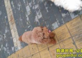 寻狗启示,连云港市新浦区龙河小区光辉路上丢失棕色泰迪,它是一只非常可爱的宠物狗狗,希望它早日回家,不要变成流浪狗。