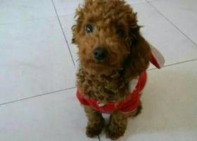寻狗启示,湖北十堰郧县1000元寻找泰迪,它是一只非常可爱的宠物狗狗,希望它早日回家,不要变成流浪狗。