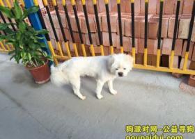 寻狗启示,同安区祥平街道捡到白色狗一只,有点像萨摩,它是一只非常可爱的宠物狗狗,希望它早日回家,不要变成流浪狗。