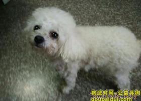 望5000元以上找回上海浦东丢失的白色、6岁玩具贵宾(只有35CM长)