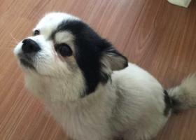 寻狗启示,昭通市昭阳区寻找一只小型哈巴狗,黑白色,它是一只非常可爱的宠物狗狗,希望它早日回家,不要变成流浪狗。