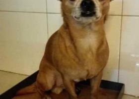 寻狗启示,【山东潍坊】文化路北宫东街-寻狗启示,它是一只非常可爱的宠物狗狗,希望它早日回家,不要变成流浪狗。