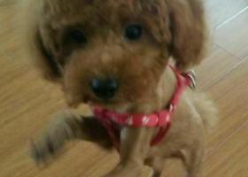 寻狗启示,泰州兴化寻狗,棕色卷毛泰迪,它是一只非常可爱的宠物狗狗,希望它早日回家,不要变成流浪狗。