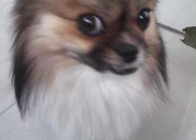 寻狗启示,小京巴丢失,家人期盼回家,它是一只非常可爱的宠物狗狗,希望它早日回家,不要变成流浪狗。