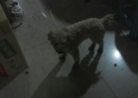 寻狗启示,本人在龙湾状元捡到这只狗,它是一只非常可爱的宠物狗狗,希望它早日回家,不要变成流浪狗。