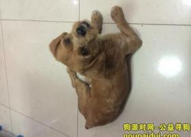 上海四川北路附近捡到一只黄色的狗