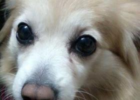 东莞找狗东莞桥头天鹅路加豪百货附近走丢黄白色毛发粉红鼻头小狗,急寻,重金酬谢