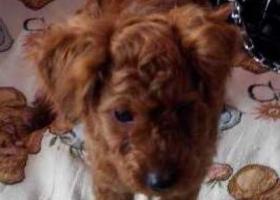 寻狗启示,山东威海文登桃园小区急寻红色泰迪宝宝,它是一只非常可爱的宠物狗狗,希望它早日回家,不要变成流浪狗。
