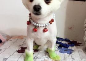 寻狗启示,我家博美昨天跑出去没回来,它是一只非常可爱的宠物狗狗,希望它早日回家,不要变成流浪狗。