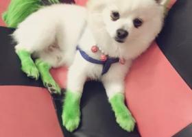 寻狗启示,寻找丢失爱狗白色博美犬,它是一只非常可爱的宠物狗狗,希望它早日回家,不要变成流浪狗。