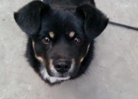 北京朝阳找一只黑色小狗叫黑子