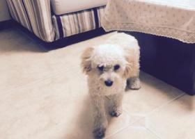 寻狗启示,狗狗想家捡到一只泰迪,它是一只非常可爱的宠物狗狗,希望它早日回家,不要变成流浪狗。