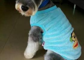 寻狗启示,寻找1岁雄性灰色雪纳瑞,乐乐,它是一只非常可爱的宠物狗狗,希望它早日回家,不要变成流浪狗。