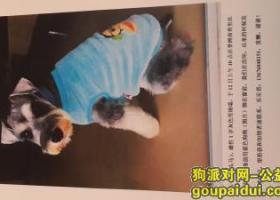 寻狗启示,寻1岁灰色雄性雪纳瑞,它是一只非常可爱的宠物狗狗,希望它早日回家,不要变成流浪狗。