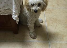 寻狗启示,捡到一只泰迪和比熊串串,它是一只非常可爱的宠物狗狗,希望它早日回家,不要变成流浪狗。