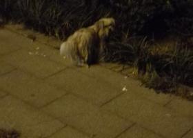 寻狗启示,泰安流浪宠物狗望有人领养,它是一只非常可爱的宠物狗狗,希望它早日回家,不要变成流浪狗。