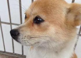 寻狗启示,一只陪伴外公外婆很多日子的小狗,它是一只非常可爱的宠物狗狗,希望它早日回家,不要变成流浪狗。